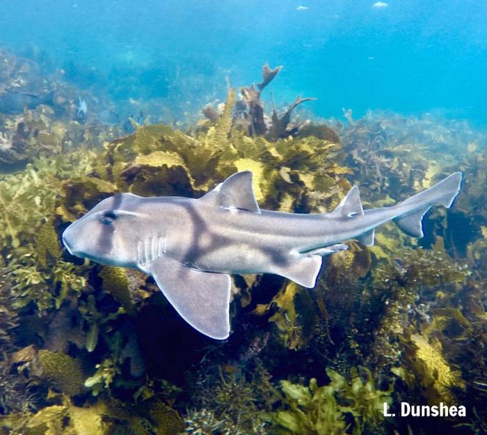 Adventure time tagging Port Jackson sharks in Sydney harbour