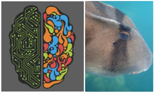 Getting into the brain of sharks