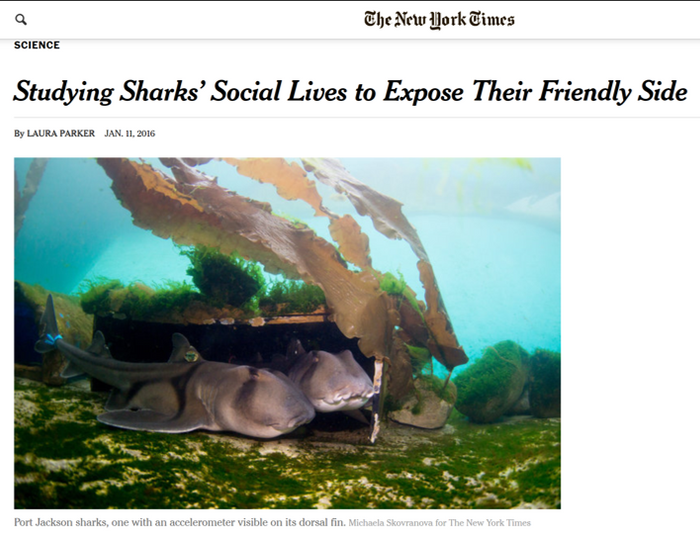 Studying Sharks' Social Lives to Expose Their Friendly Side