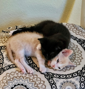 More Kittens Available for Adoption in the Coming Weeks!
