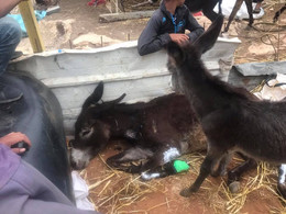 Mama donkey dying