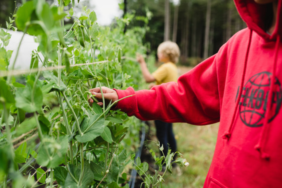 boys harvesting.jpg