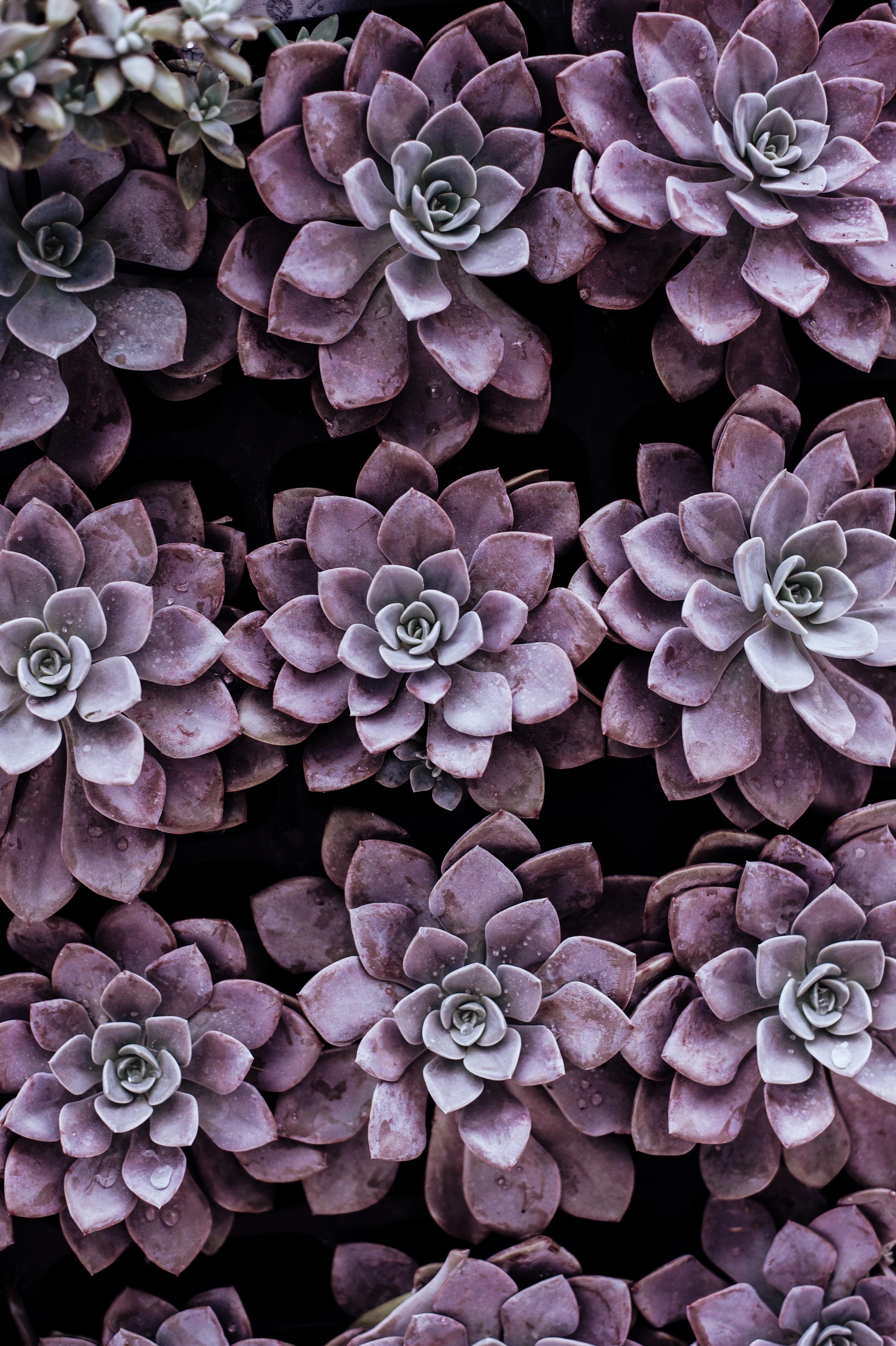 Purple_Succulent_Annie-spratt-256177.jpg