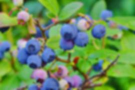 Blueberry_Shrub.jpg