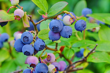 Blueberry_Shrub.jpg