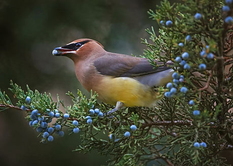 Cedar_Waxing_Blueberry