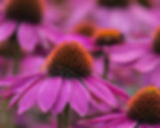 Coneflower_Closeup.jpeg