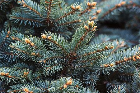 Spruce Closeup