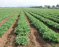 Groundnut-farming.jpg