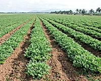 Groundnut-farming.jpg