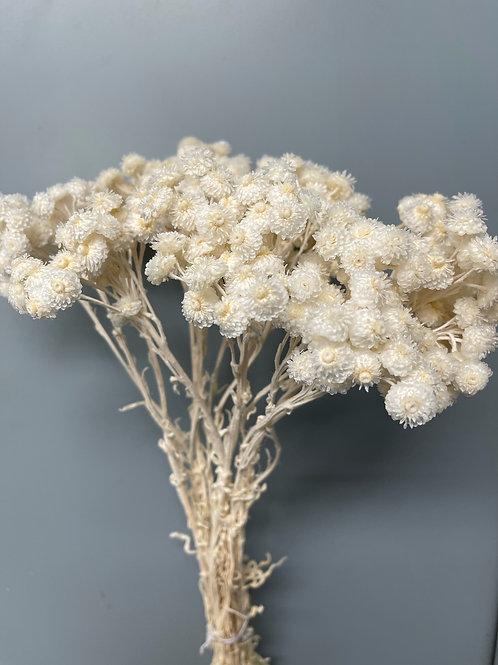 Helicrysum, Stark White