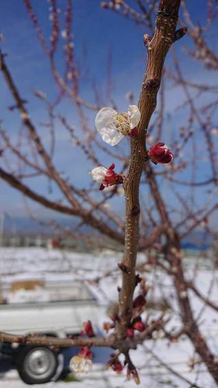 4月初旬 あんず咲きました