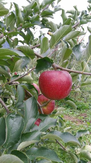 りんご成長してます