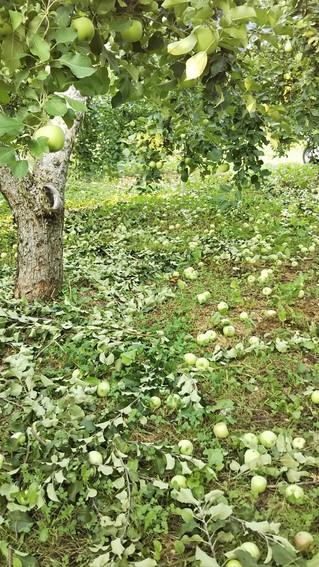 りんごの木の枝切り
