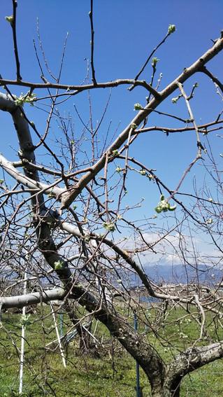 春!! 桜とりんごの葉