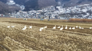 我が家の田んぼに白鳥!