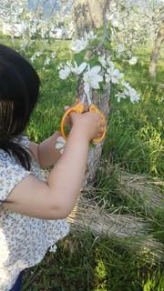今日も花摘果