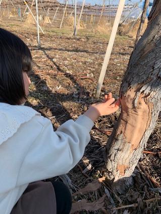 ぶどうの木の皮むき