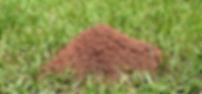 fire ant 1.jpg