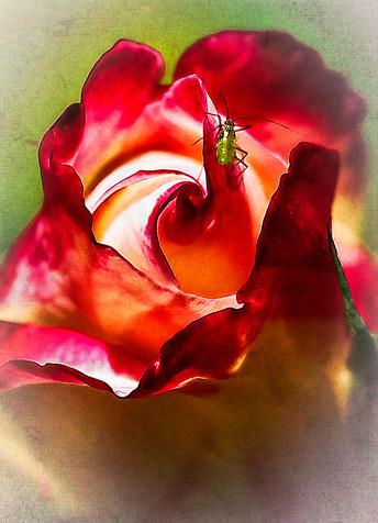 Rosebud - with friend
