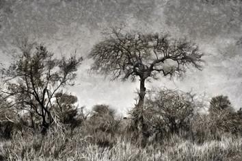 Bushveld trees - B&W