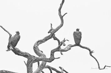 Vultures 2