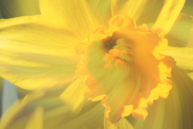 Into the daffodil