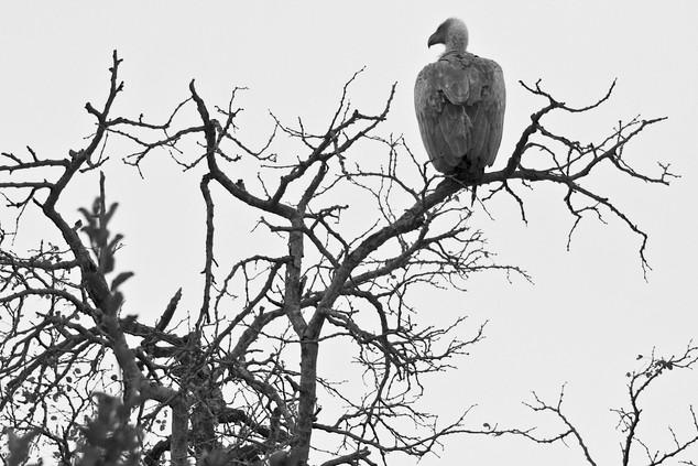 Vulture 3