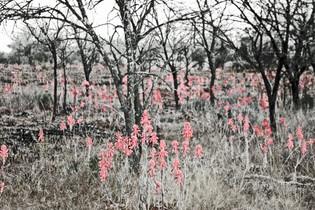 Aloes rising