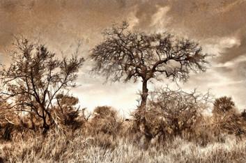 Bushveld trees - sepia