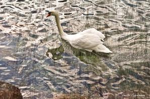Swan - through a veil