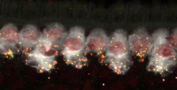 Synapses.tif