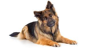 Long-Haired-German-Shepherd-long.jpg