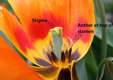 inside tulip closeup labelled.jpg