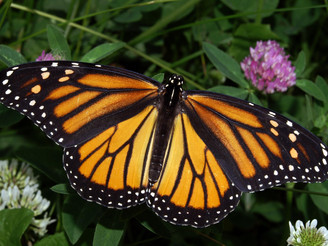 Monarch Butterfly Day is Saturday