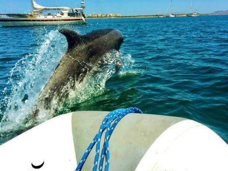 Animal Medicine: Dolphin