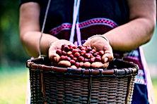 Coffee-Harvest-1024x683.jpg