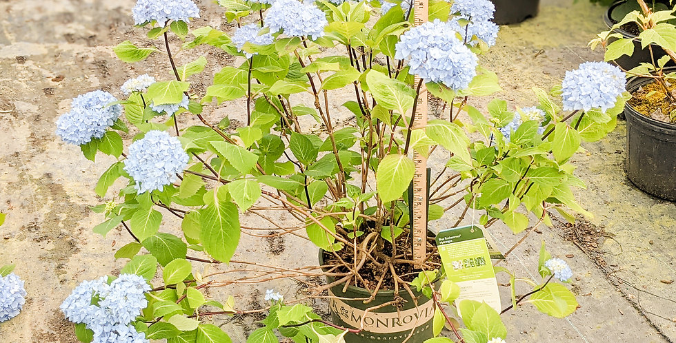 Blue Enchantress Hydrangea • Hydrangea macrophylla 'Monmar'