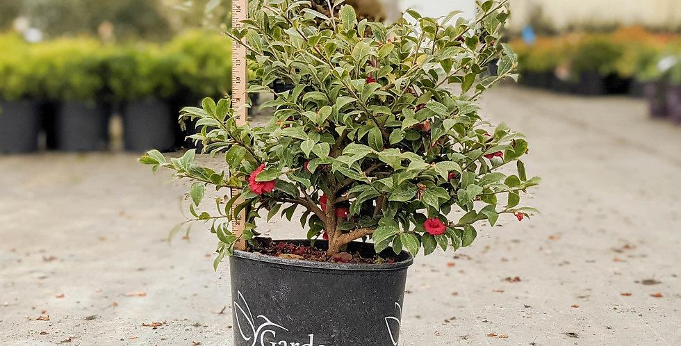 Royal Flush Shishi Camellia • Camellia 'GNC CAM1'