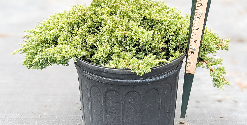 Dwarf Japanese Garden Juniper -Juniper procumbens nana