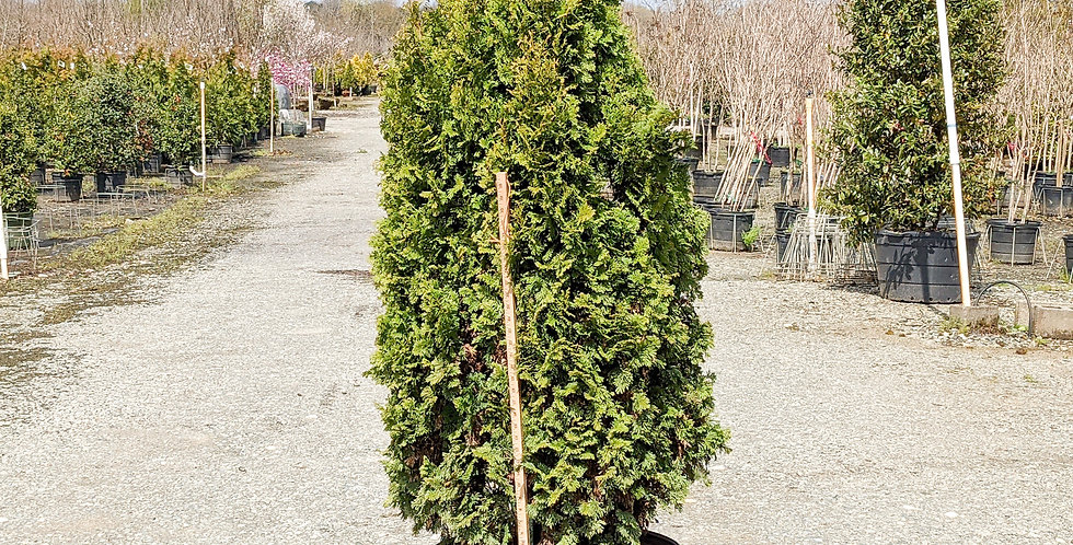 Degroot's Spire • Thuja occidentalis 'Degroot's Spire'