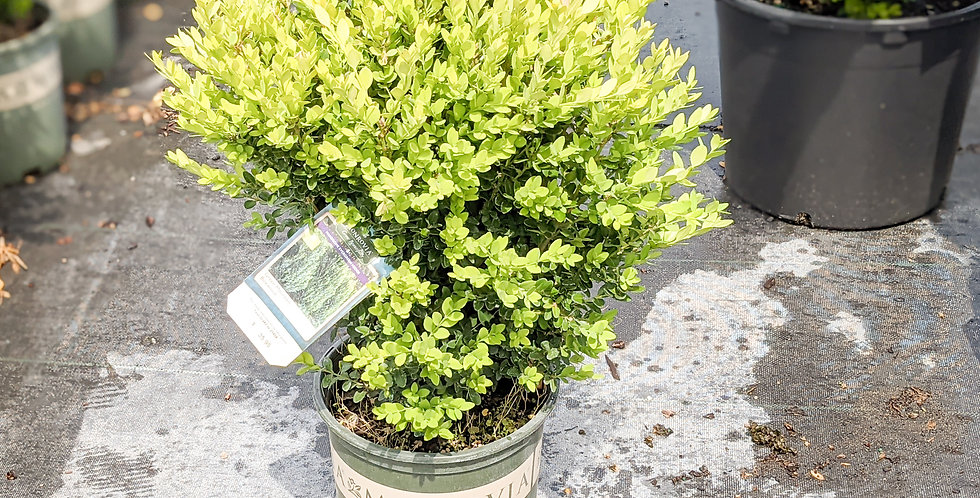 Green Mountain Boxwood •Buxus x 'Green Mountain'