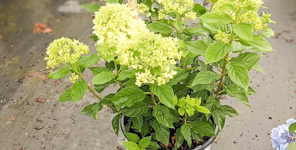 Little Lime Hydrangea - Hydrangea paniculata 'Little Lime'