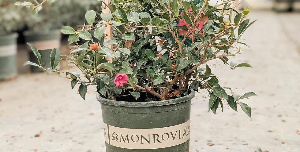 Chansonette Camellia - Camellia sasanqua 'Chasonette'