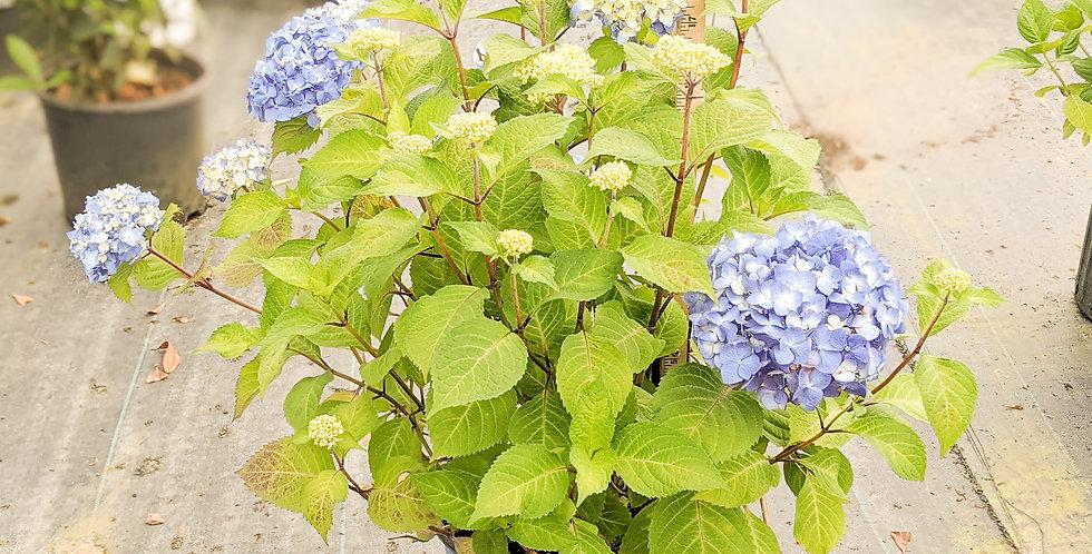 Bloom Struck Hydrangea - Hydrangea aborscens