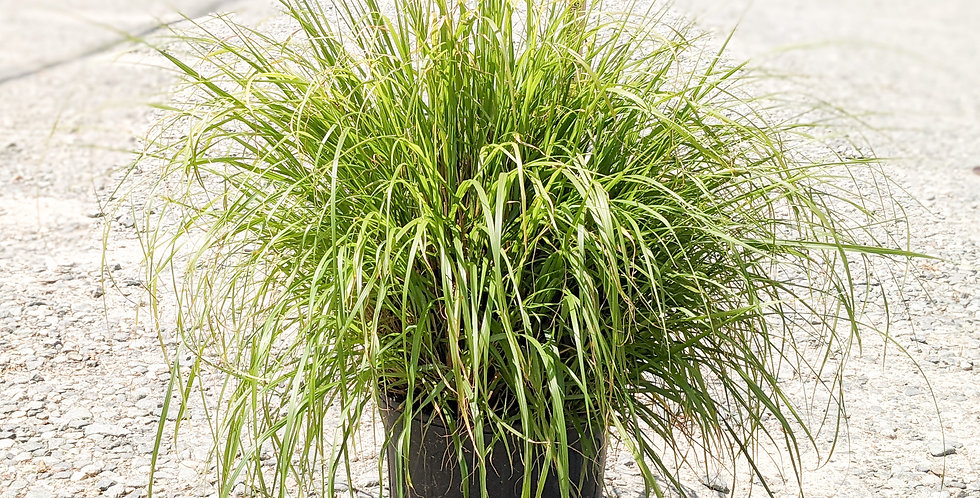 Red Head Foutain Grass -Pennisetum alopecuroides 'Red Head'