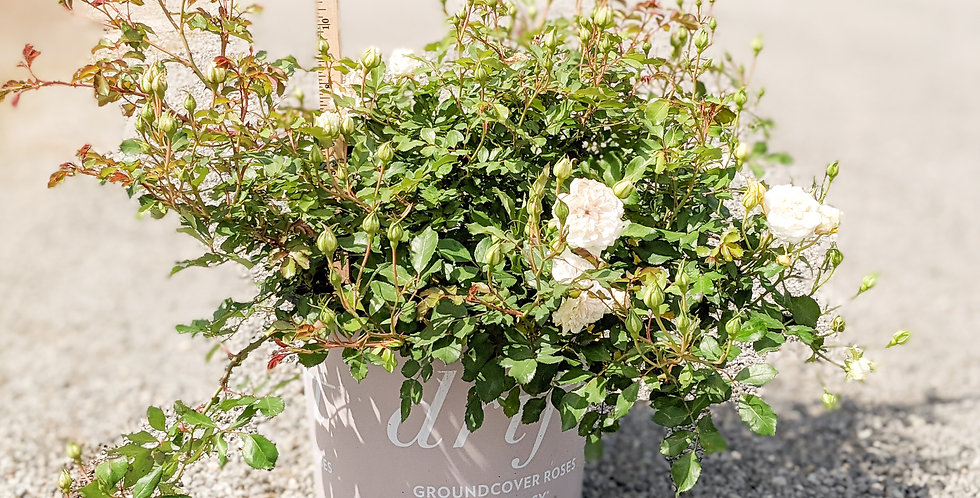 White Drift Groundcover Rose •Rosa 'Meigalpio'