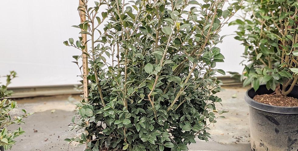 Kanjiro Camellia • Camellia sasanqua (C. hiemalis) 'Kanjiro'