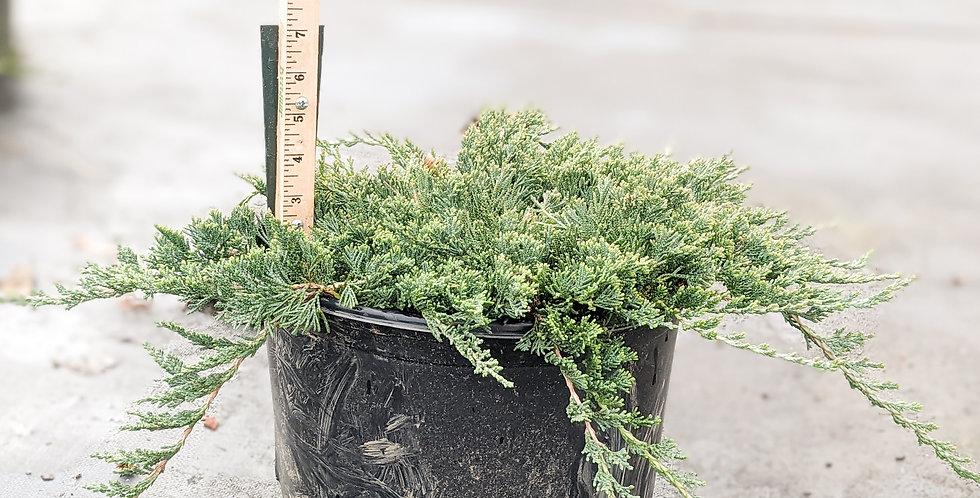 Blue Rug Juniper -Juniperus horizontalis 'Wiltonii'