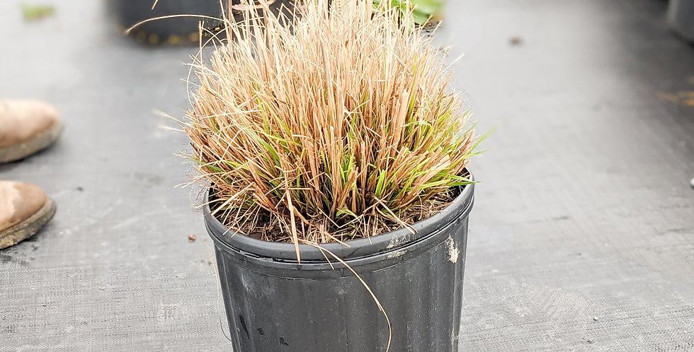 Hameln Fountain Grass •Pennisetum alopecuroides 'Hameln'